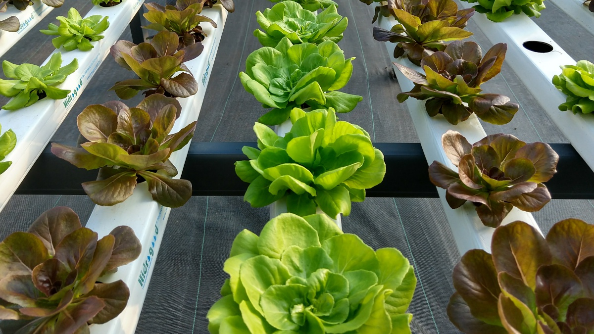The lettuce as education and entertainment: urban farming is a reality