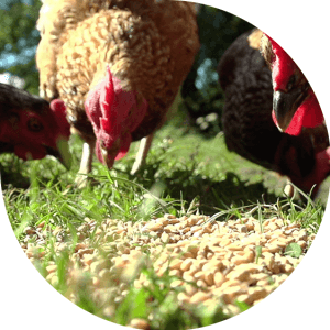 Do you know how a circular vegetable garden with hens works?