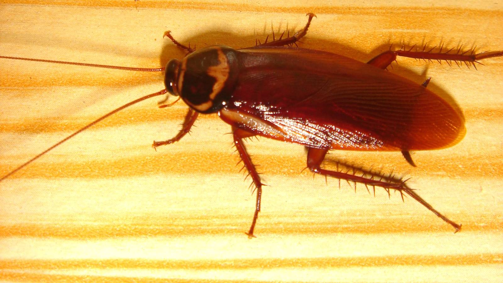 Cockroaches' evolution process is creating die-hard insects